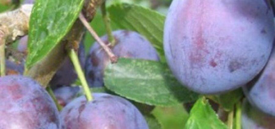 Plūme Perdrigons /Prunus domestica/