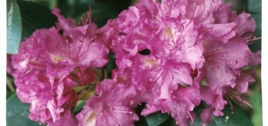Rododendrs mūžzaļais Katavbas /Rhododendron catawbiense/