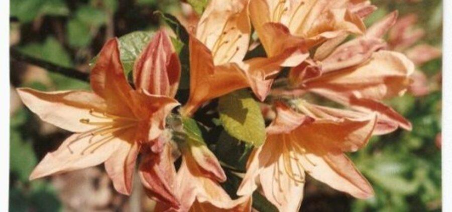 Rododendrs vasarzaļais Japānas/ oranžs /Rhododendron japonicum/