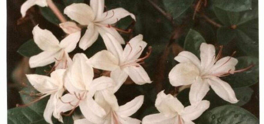 Rododendrs vasarzaļais Kokveida /Rhododendron arborescens/