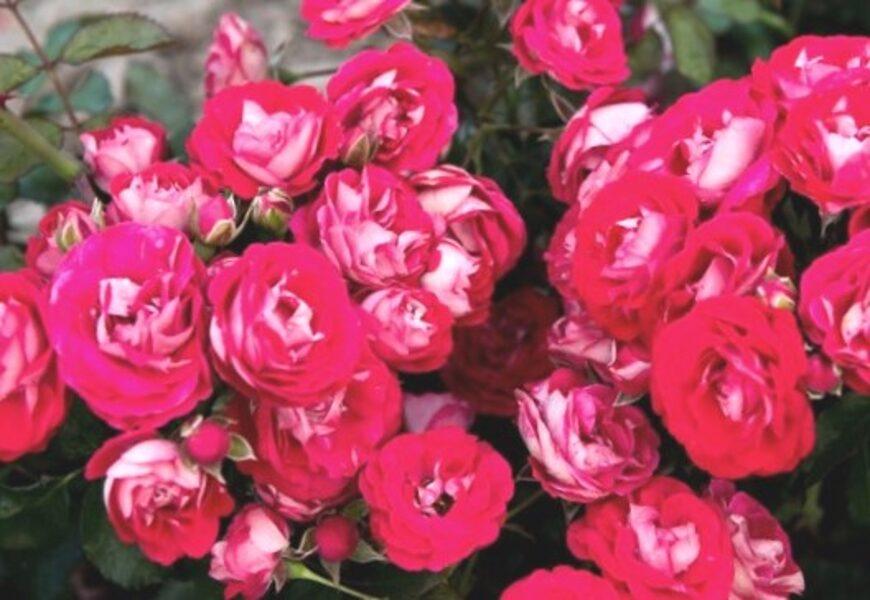 Floribundroze Rosige Landdrostei /Rosa/