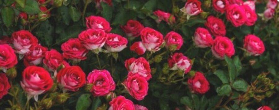 Floribundroze Schone Koblenzerin /Rosa/