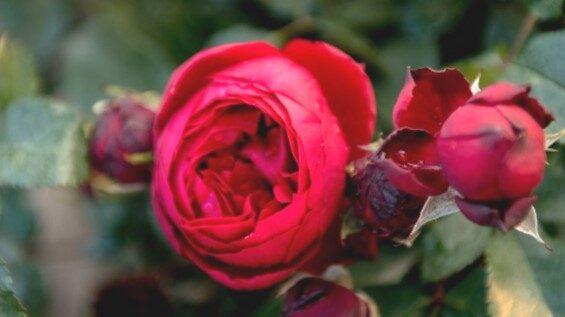 Floribundroze Till Eulenspiegel /Rosa/