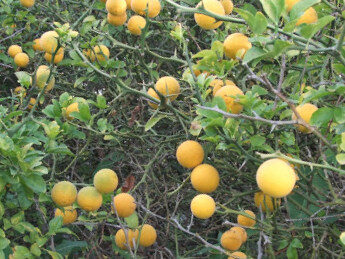 Trejlapu poncirs /Poncirus trifoliata/