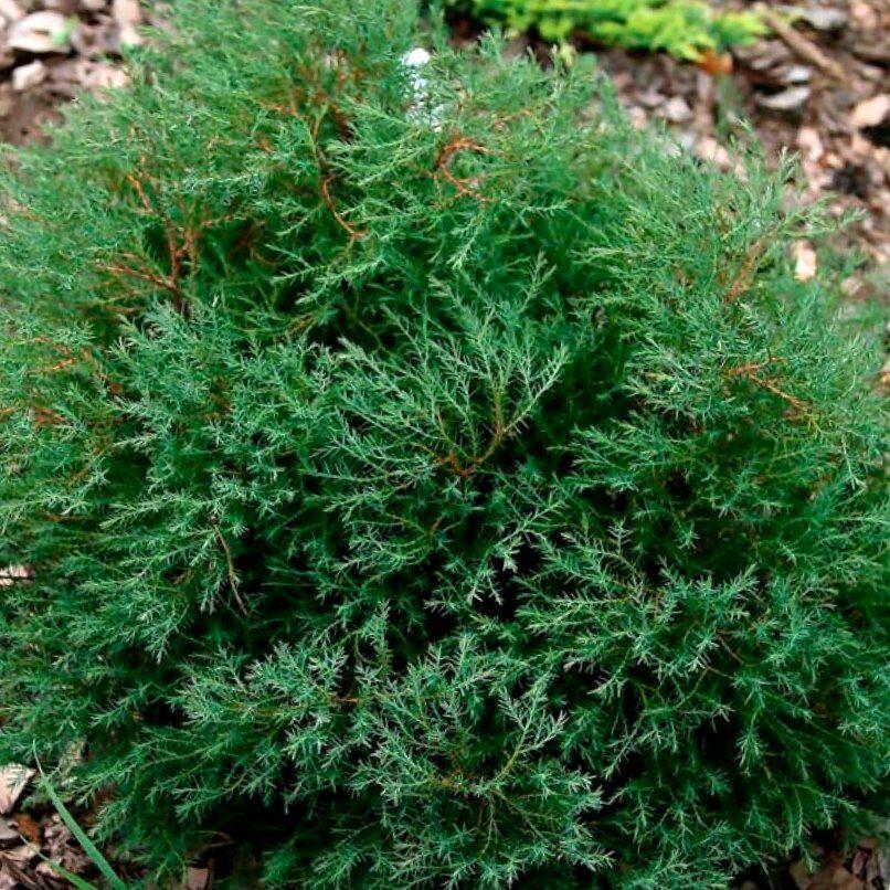 Tūja rietumu Ericoides /Thuja occidentalis Ericoides/