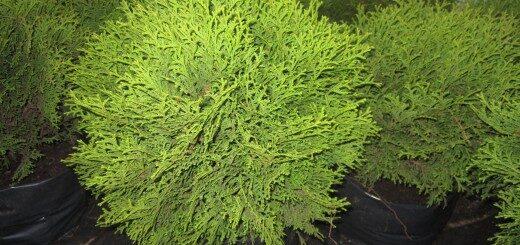 Tūja rietumu Danica 25-30cm /Thuja occidentalis Danica/