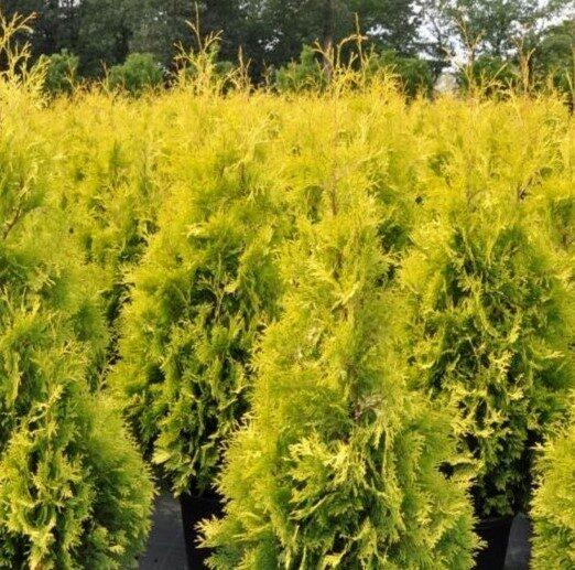 Tūja rietumu Yellow Ribbon /Thuja occidentalis Yellow Ribbon/