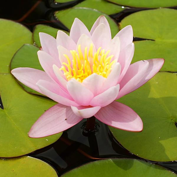 Ūdensroze Marliacea Rosea /Nymphaea Marliacea Rosea/