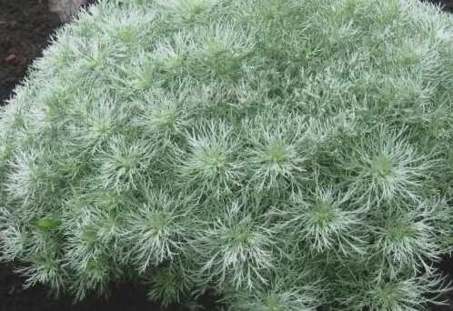Vērmele Šmita Nana /Artemisia schmidtiana Nana/