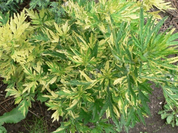 Vībotne parastā Variegata /Artemisia vulgaris Variegata/