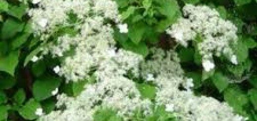 Vīteņhortenzija / kātainā kaliptrante/ /Hydrangea petiolaris (Calyptrante petiolaris)/