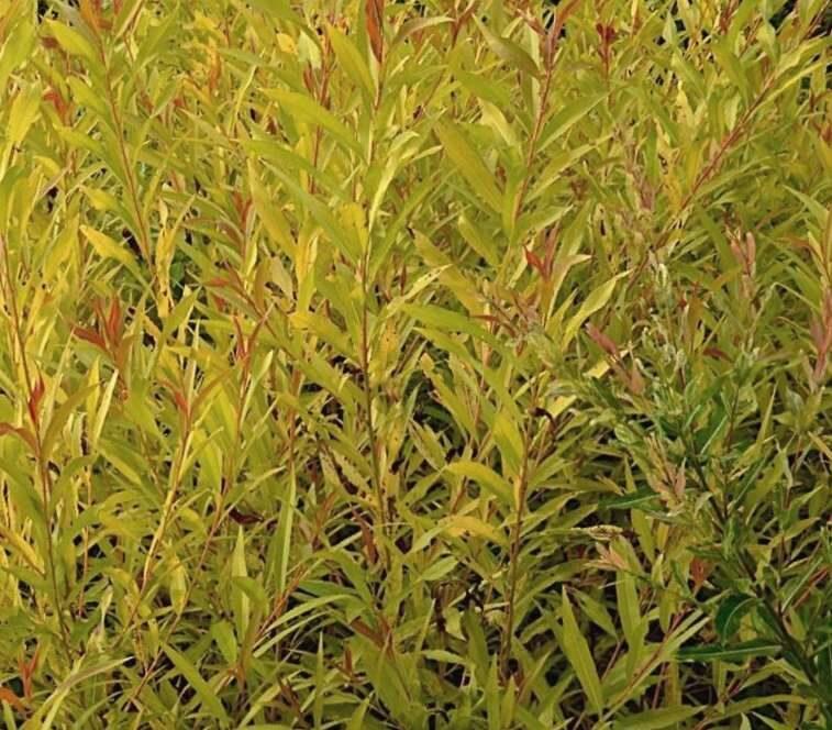 Vītols Zeltzaru nokarenais Chrysocoma /Salix x sepulcralis Chrysocoma /