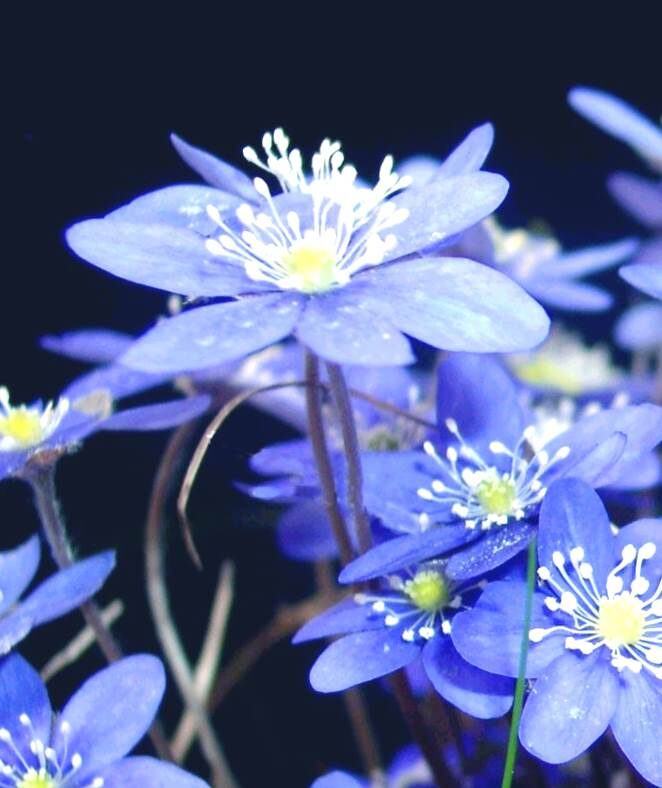 Vizbulīte zilā /Hepatica nobilis/