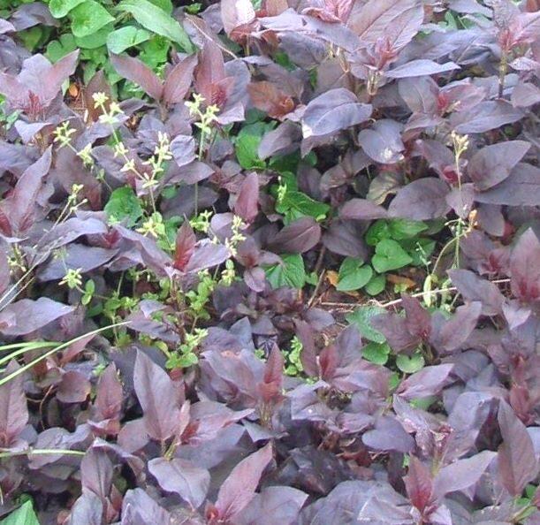 Zeltene Skropstainā Purpurea /Lysamachia ciliata Purpurea/