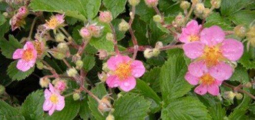 Zemenes rozā ziedu Pink Panda /Fragaria ananasa Pink Panda/